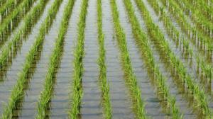 malto di riso