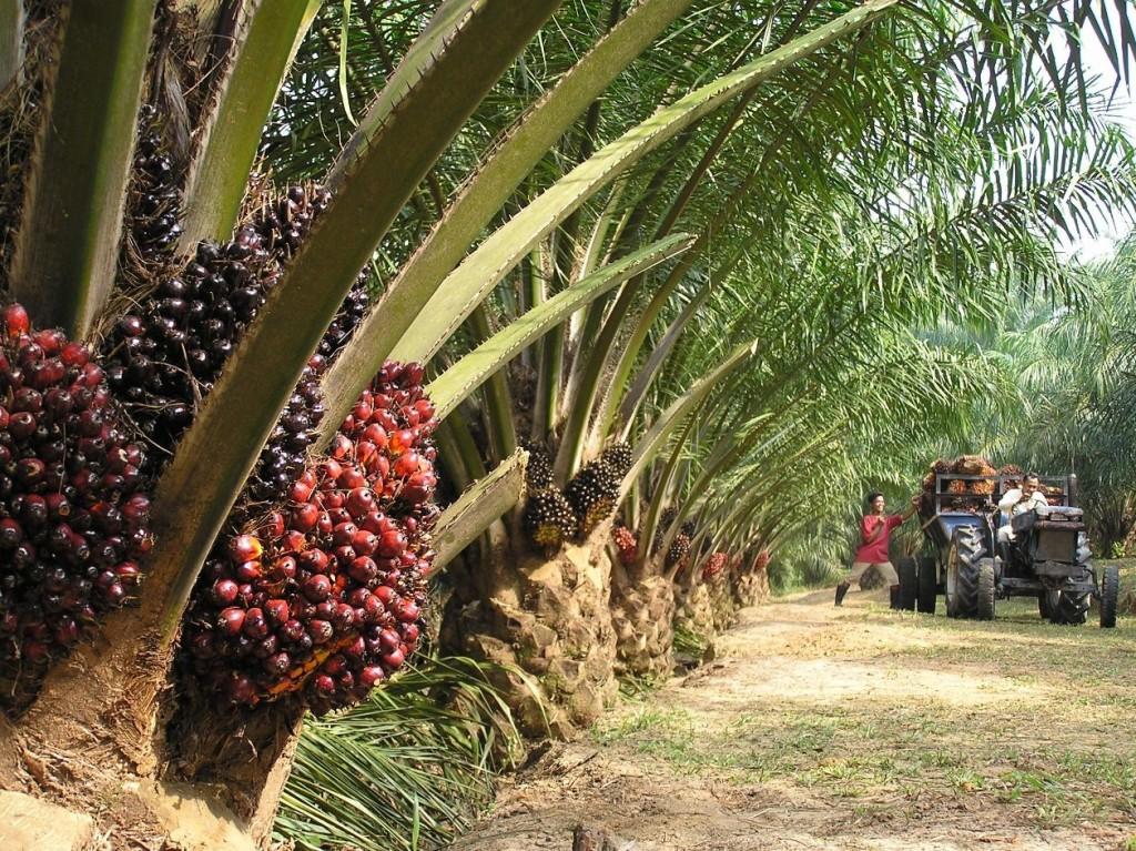 Coltivazioni di Palma da Olio  - Gluten Free Travel and Living