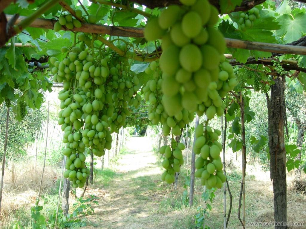 Pergolato di uva- Gluten Free Travel & Living