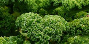 Cavolo rosso e kale, superfood ricchi di composti salutari