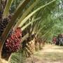 Gli oli di palma e di colza dannosi alla salute!