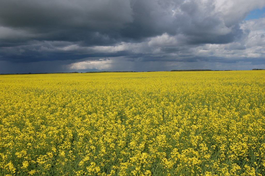 Campo di Colza Canola -  Gluten Free Travel and Living