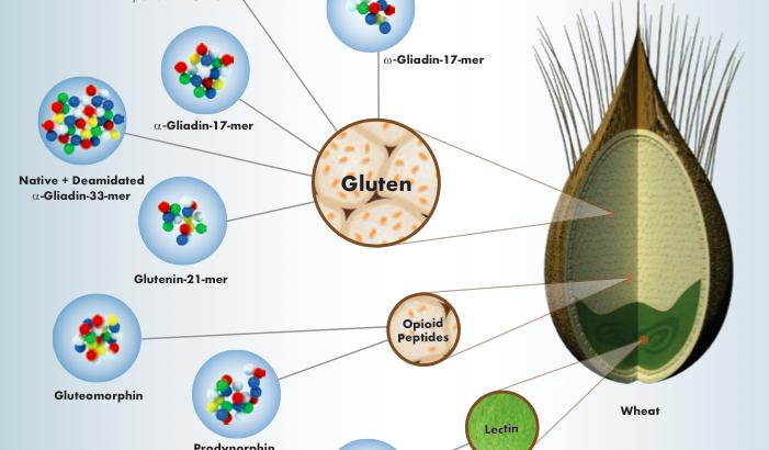 Gluten sensitivity non celiaca: glutine o frumento?