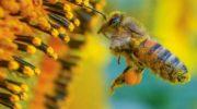 Il polline d'api per migliorare il pane senza glutine